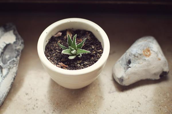 baby succulents. tidytipsy